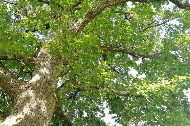 The Oak of Vaišniūnai