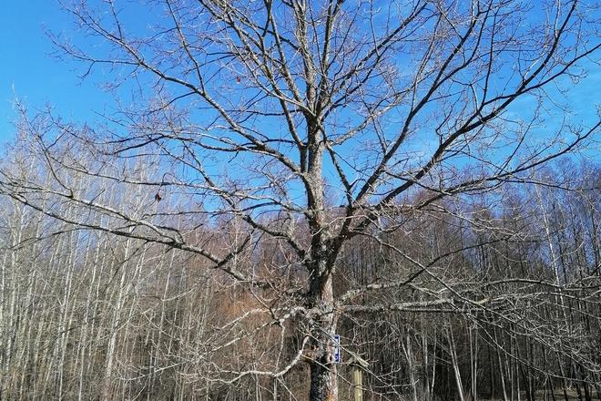 Signatory Česlovas Kudaba oak