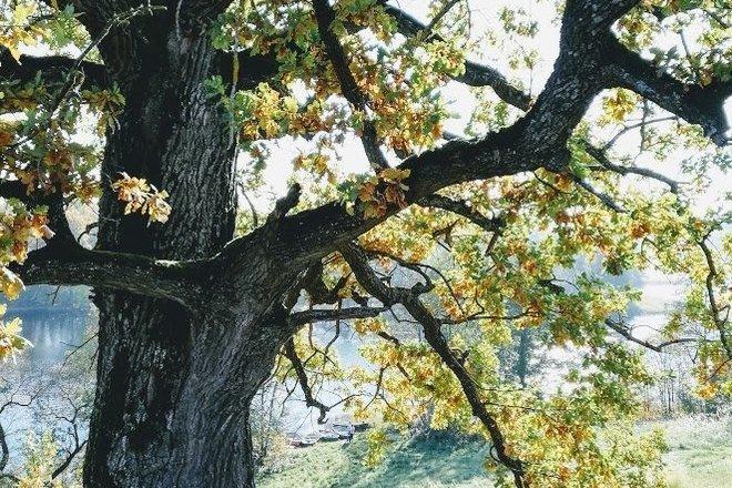 The Oak of Puziniškis