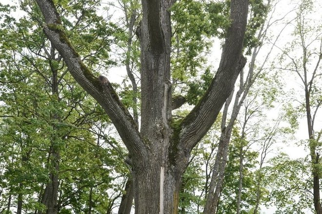 The Oak of Paliesius Manor