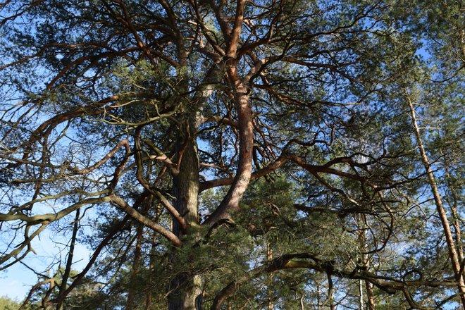 Asalnai Pine Tree